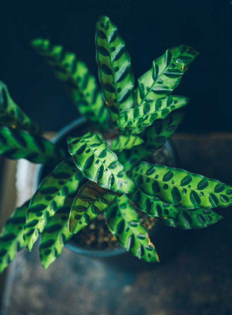 calathea kalatea lancifolia
