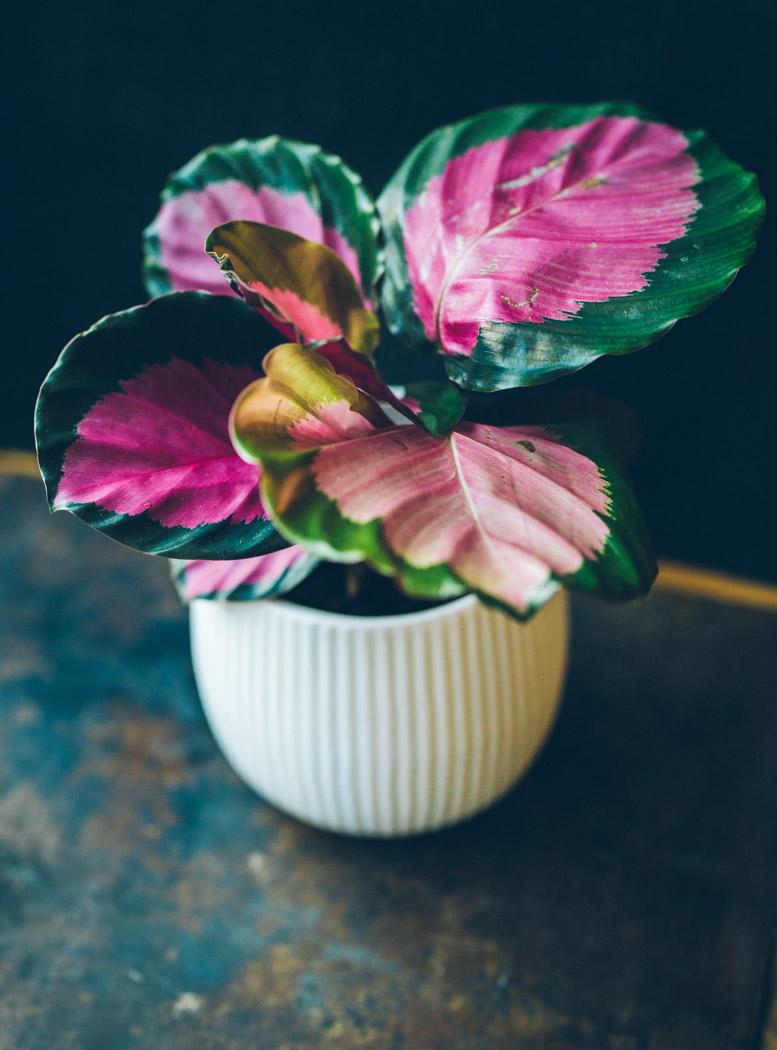 calathea kalatea roseopicta rosie