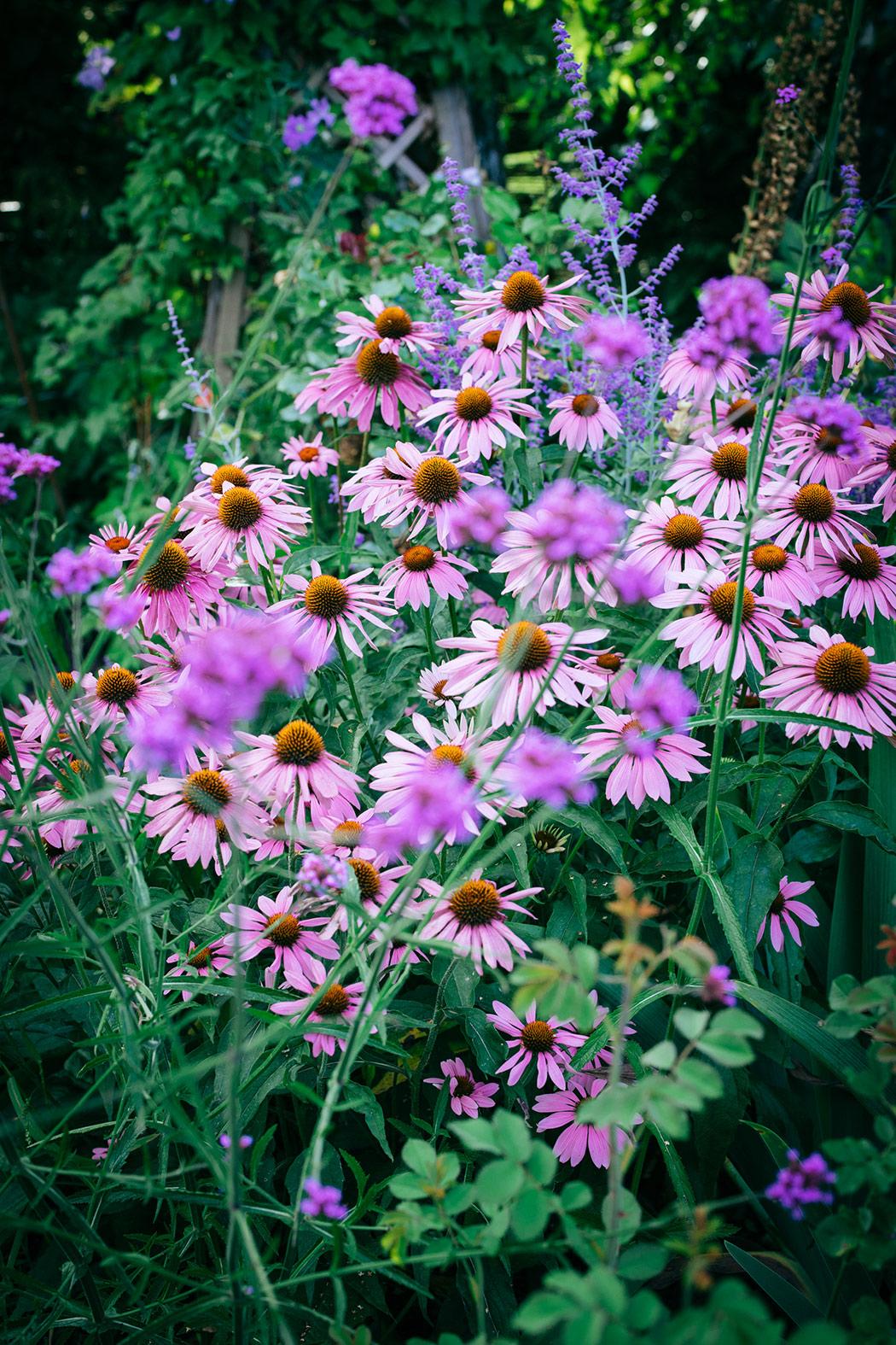 byliny w ogrodzie jezowki-w-ogrodzie
