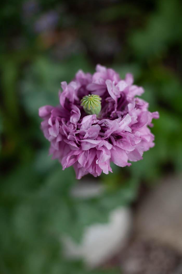 kwiaty jednoroczne-10