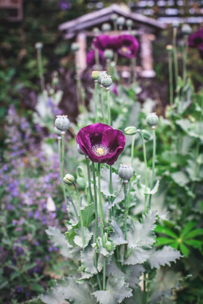 kwiaty jednoroczne-11