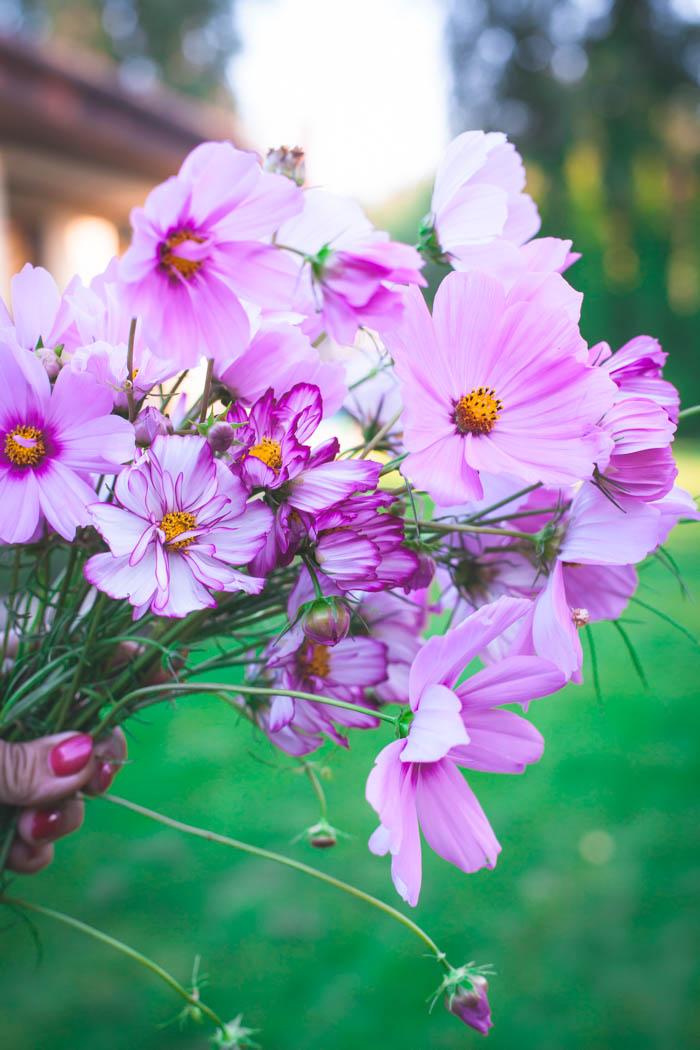 kwiaty jednoroczne-13