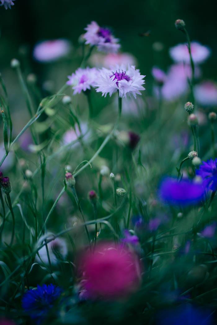 kwiaty jednoroczne-21