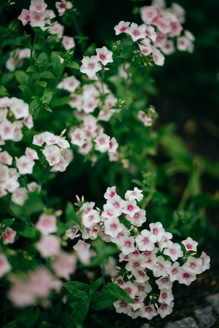 kwiaty jednoroczne-25