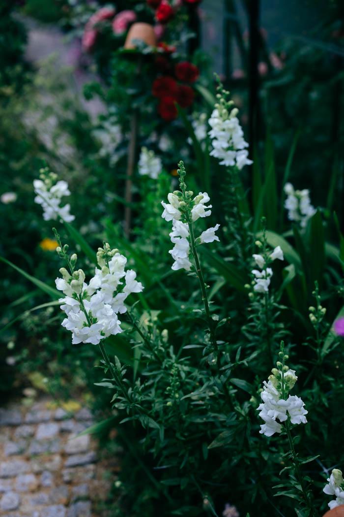 kwiaty jednoroczne-29