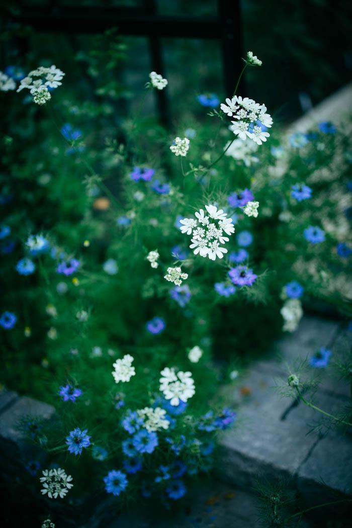 kwiaty jednoroczne-34