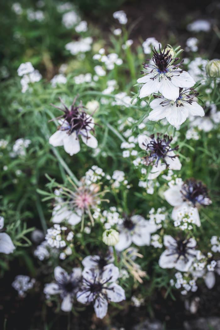 kwiaty jednoroczne-5