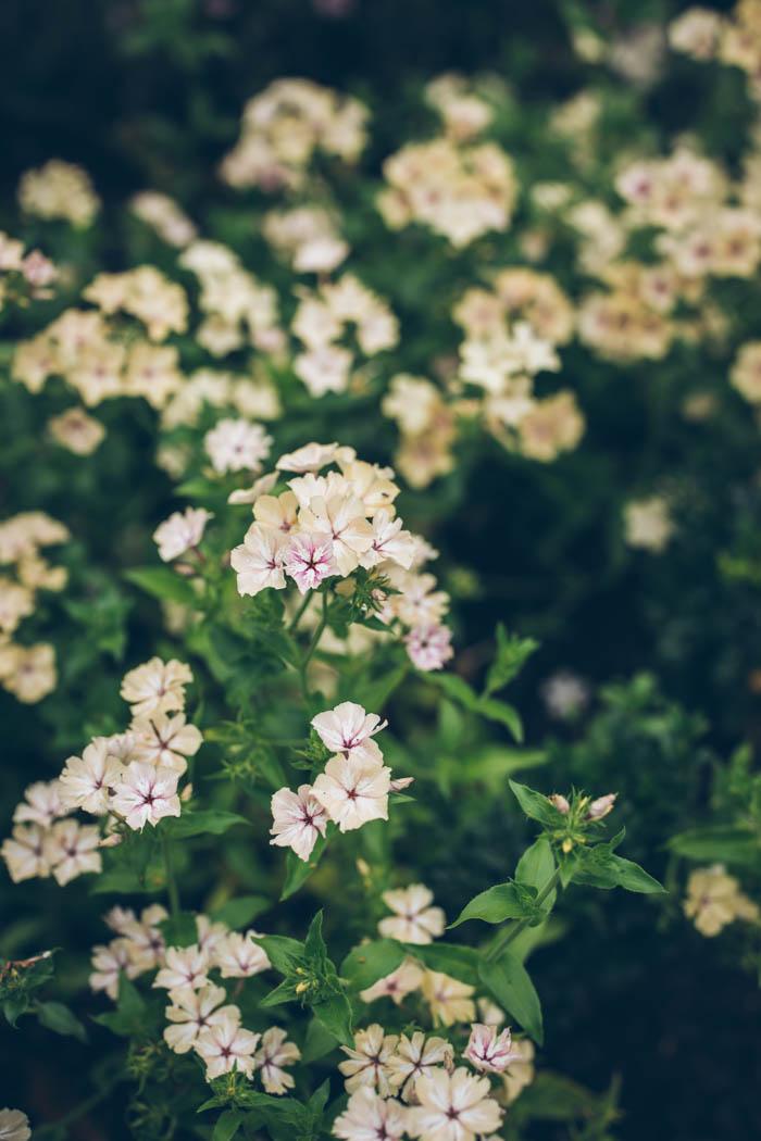 kwiaty jednoroczne-7