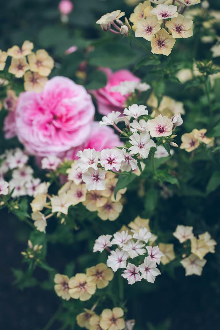 kwiaty jednoroczne-8