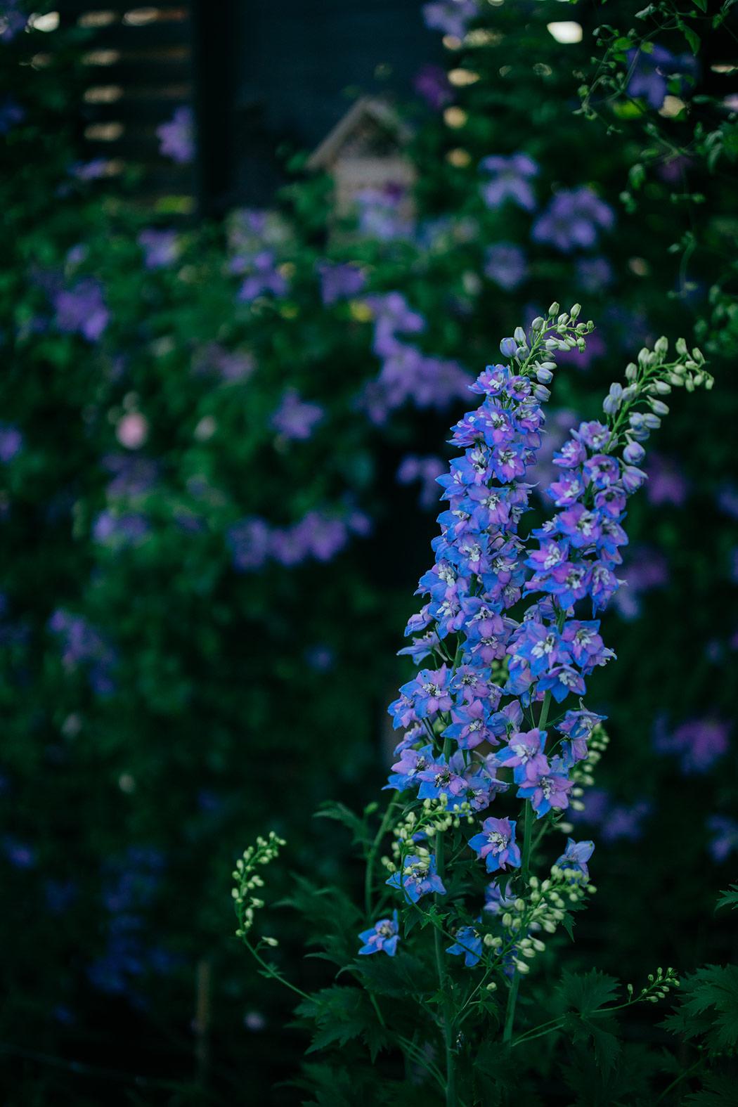 byliny w ogrodzie niebieskie-ostrozki
