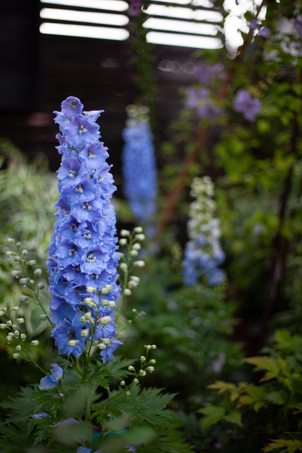 byliny w ogrodzie ostrozki-w-ogrodzie