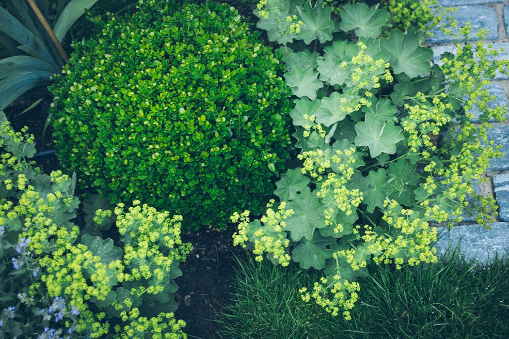 byliny w ogrodzie przywrotnik-alchemilla-mollis