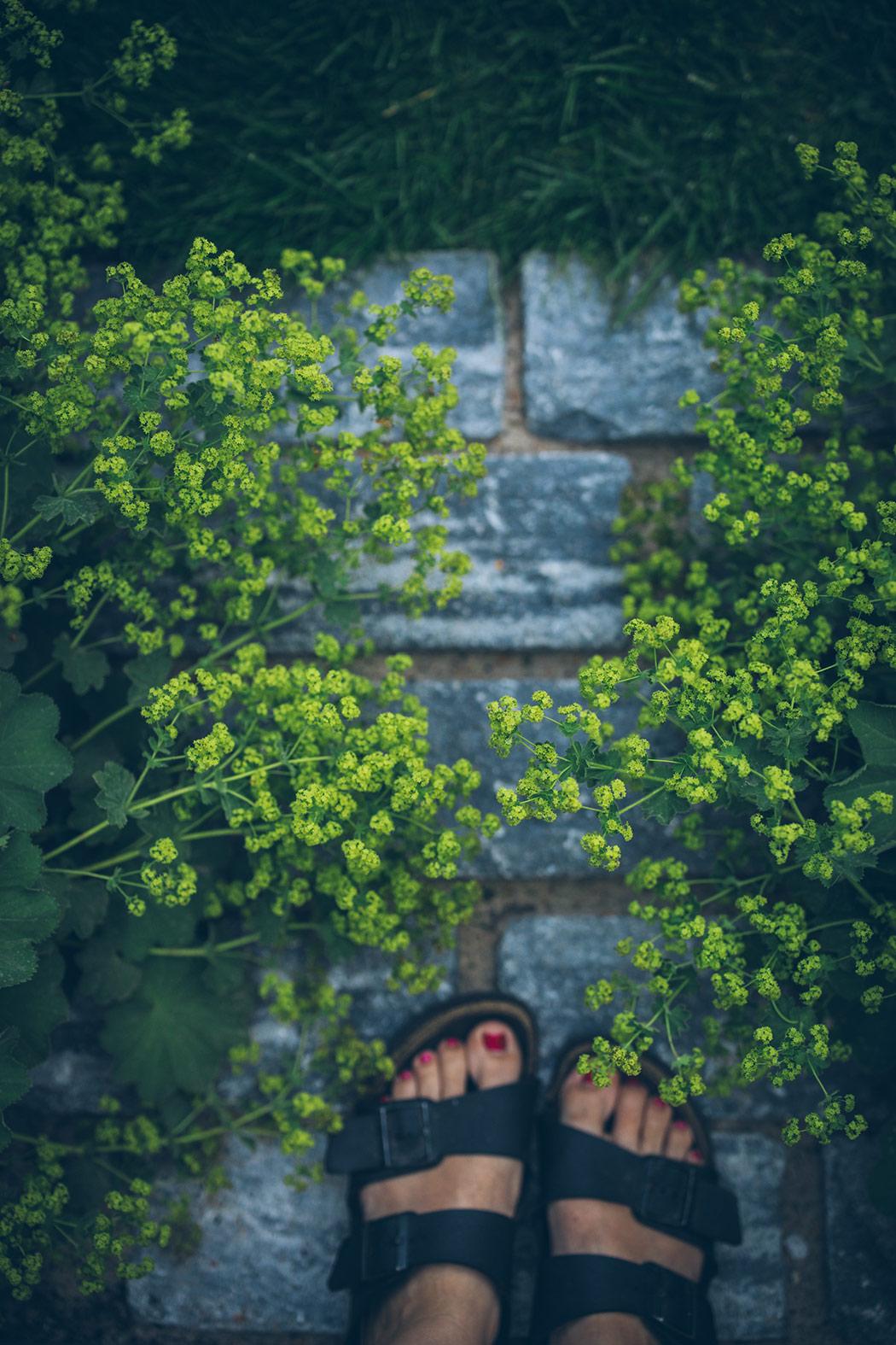 przywrotnik-ostroklapowy byliny w ogrodzie