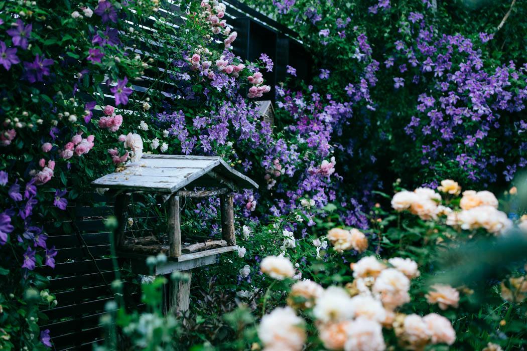 clematis ogród wertykalny