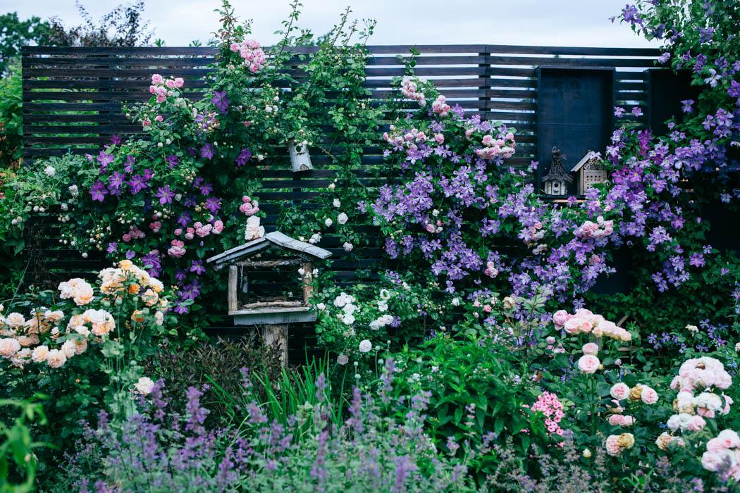 clematis róża jasmina-2