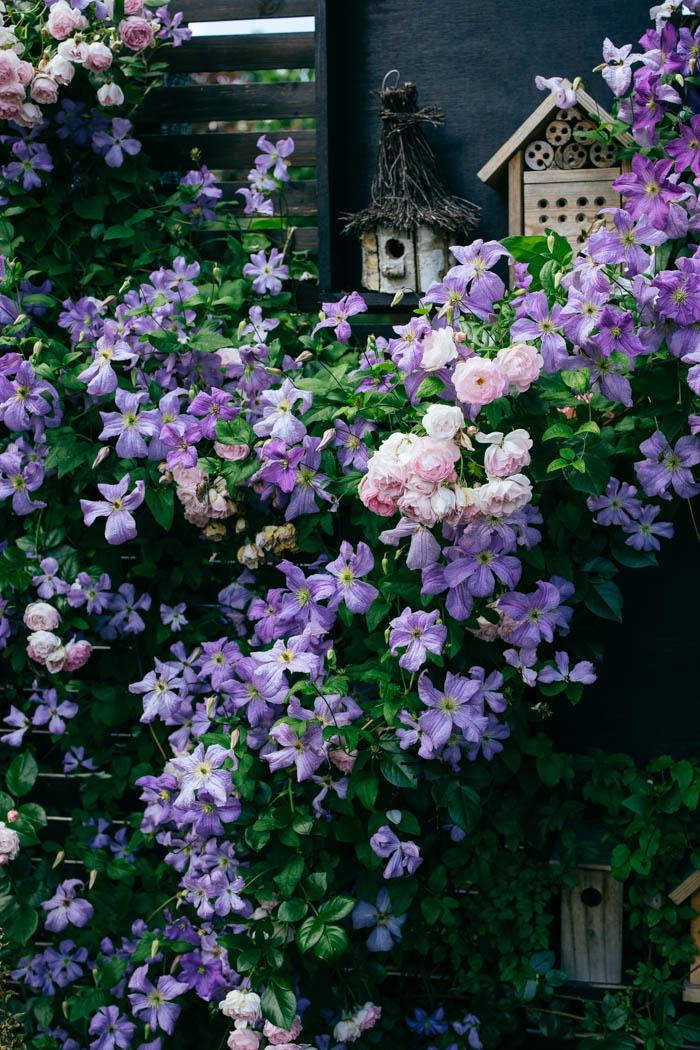 clematis róża jasmina-4