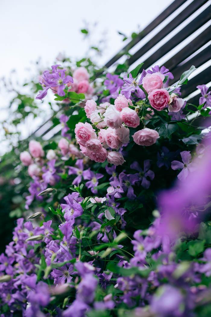 clematis róża jasmina