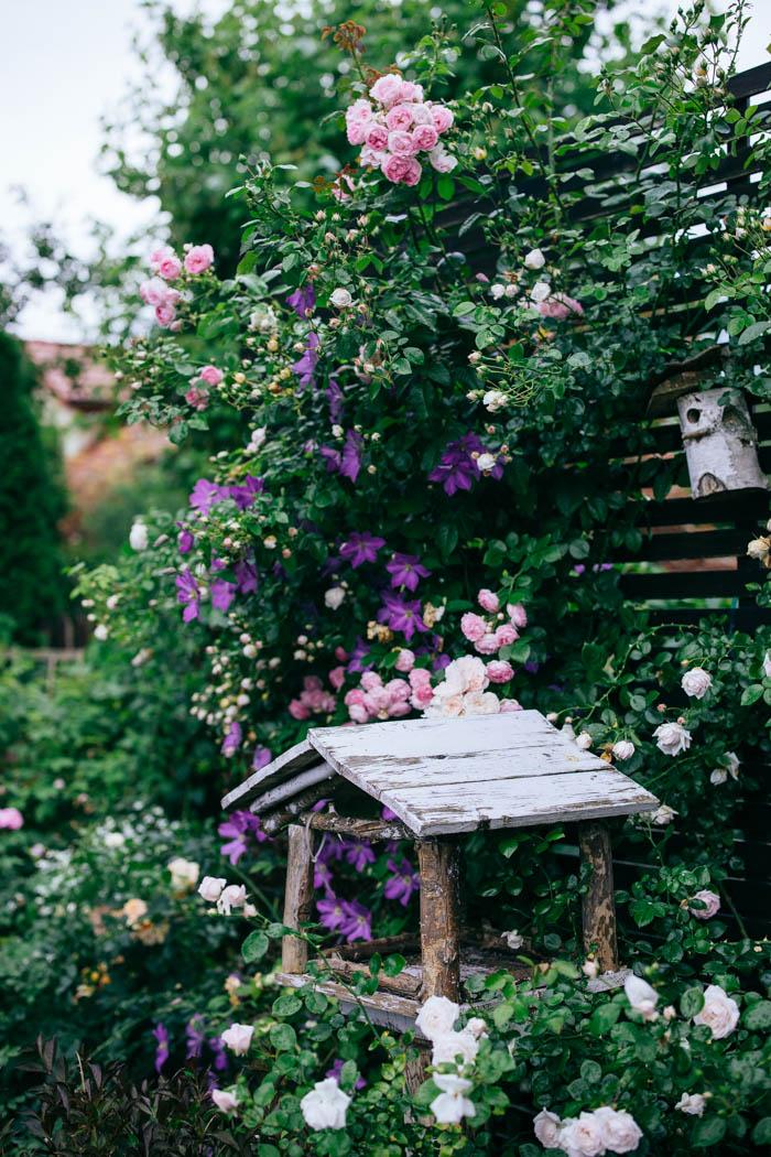 clematis róża ogród wertykalny
