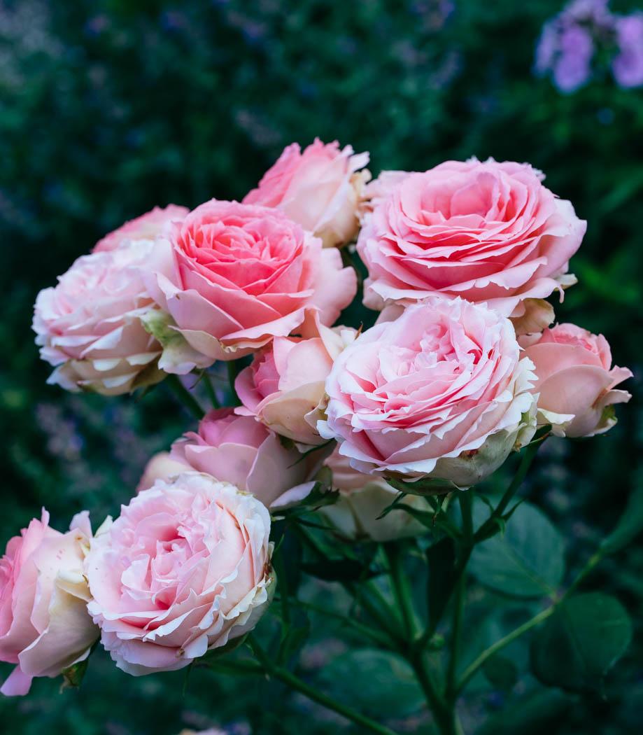 róża first lady