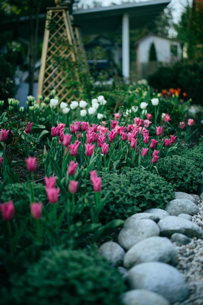 tulipany-2
