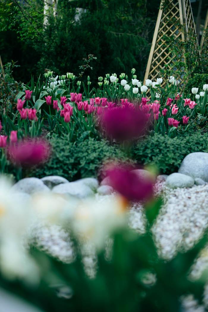 tulipany-3