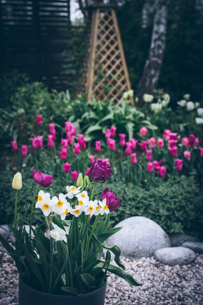 tulipany-4