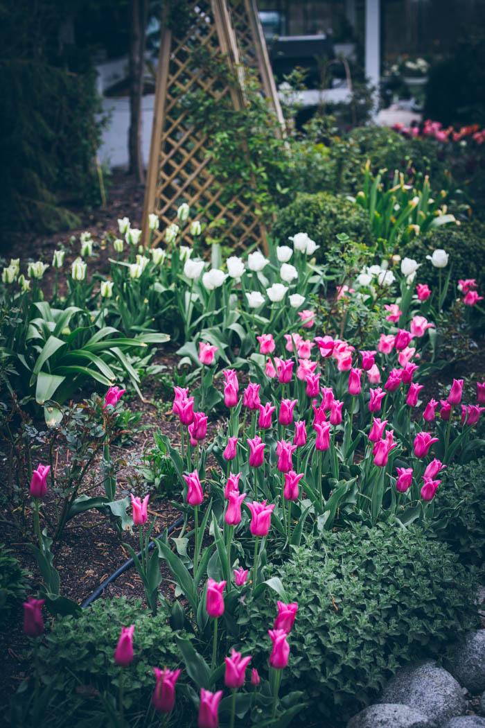 tulipany-5