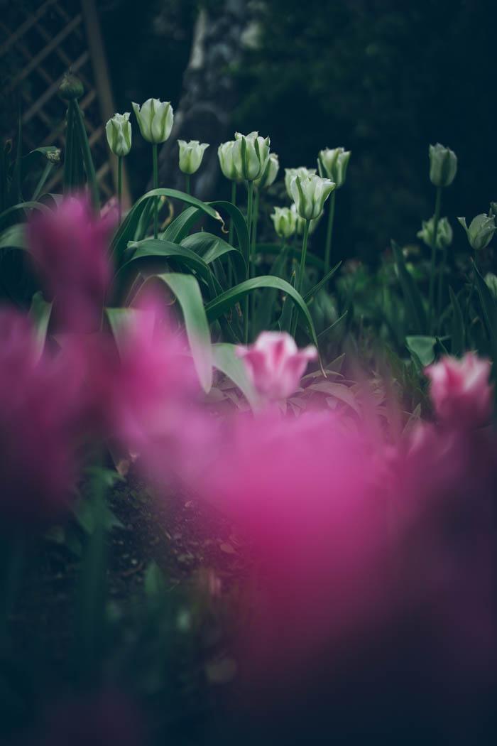 tulipany-7