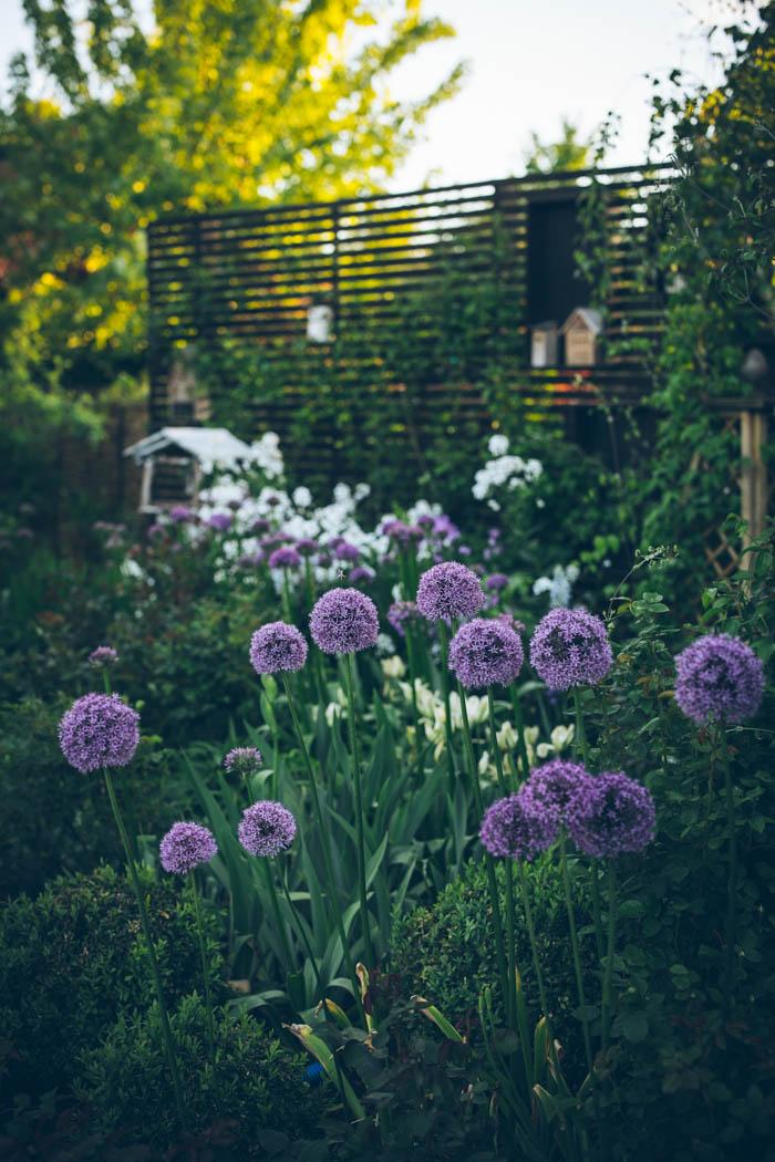 tulipany-8
