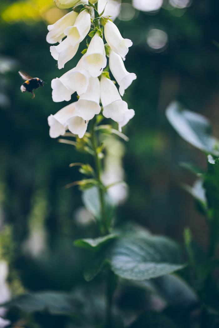 rośliny dwuletnie naparstnice