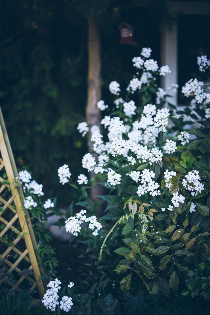 rośliny dwuletnie wieczornik damski-1